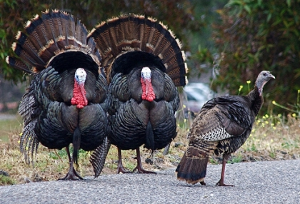 a-turkeys