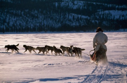 a-sled dogs